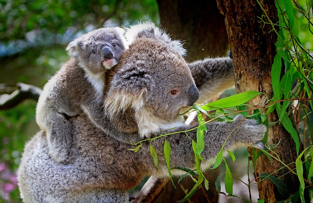 koala clinging to its mother's back